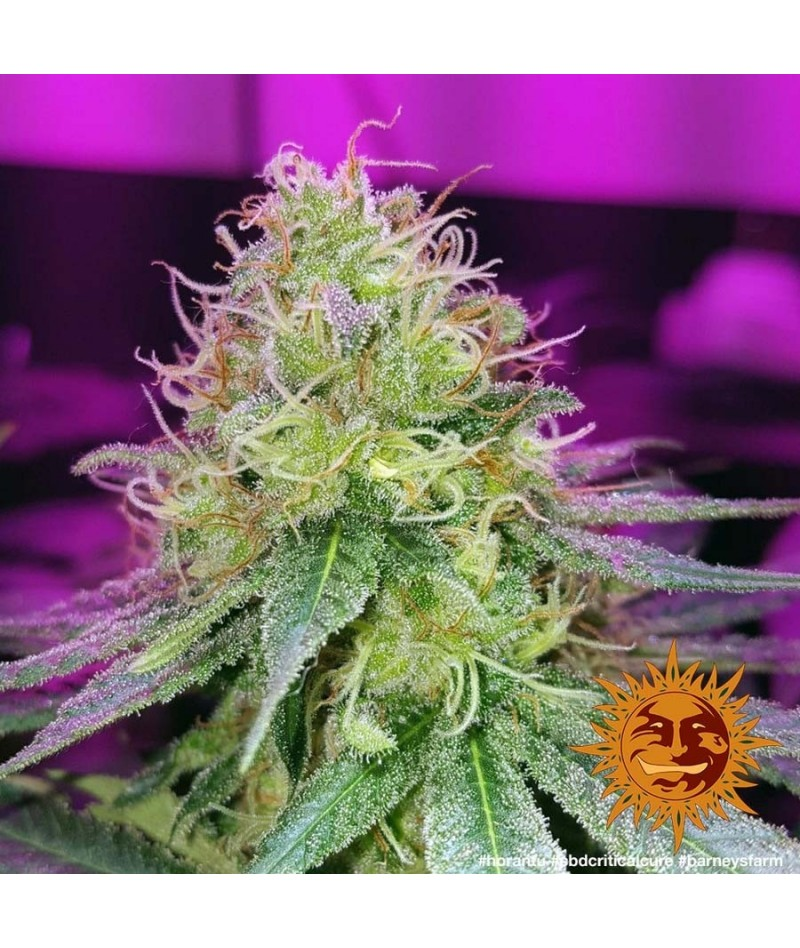 CBD CRITICAL CURE -...