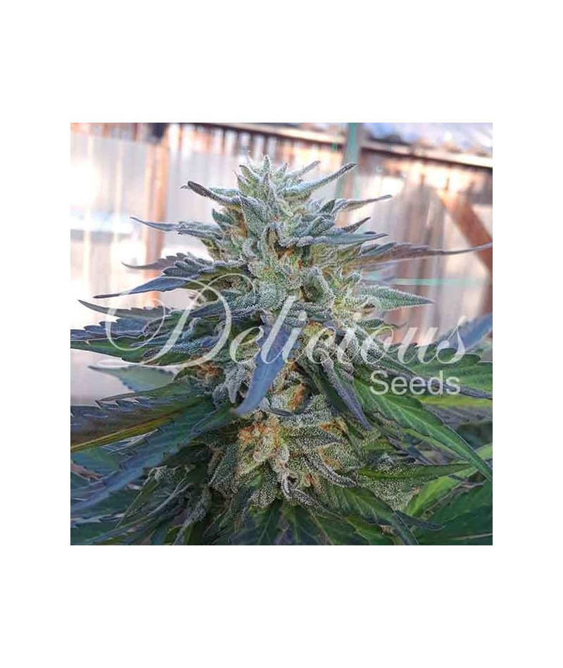 ELEVEN ROSES - DELICIOUS SEEDS