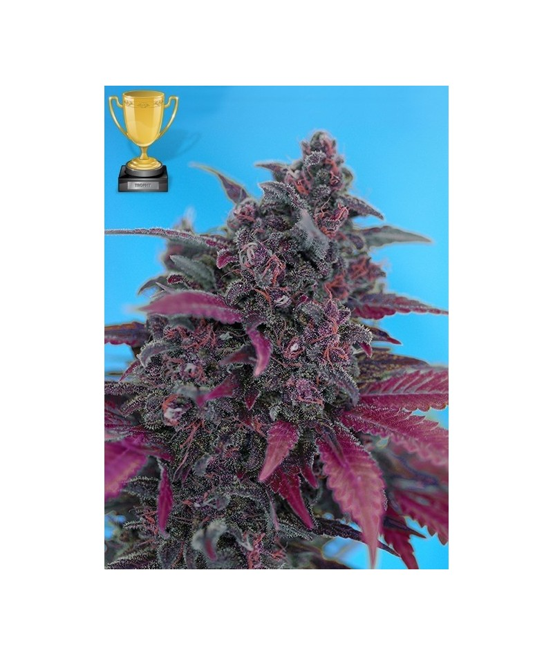 SWEET SEEDS DARK DEVIL AUTO