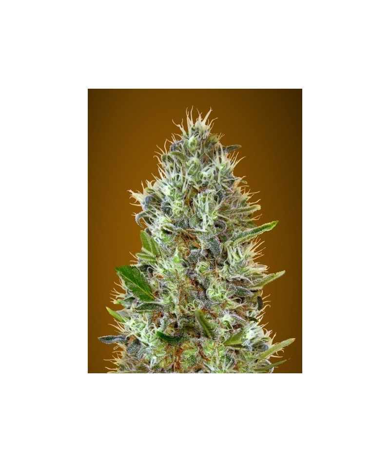 ADVANCED SEEDS AUTO BLUE...