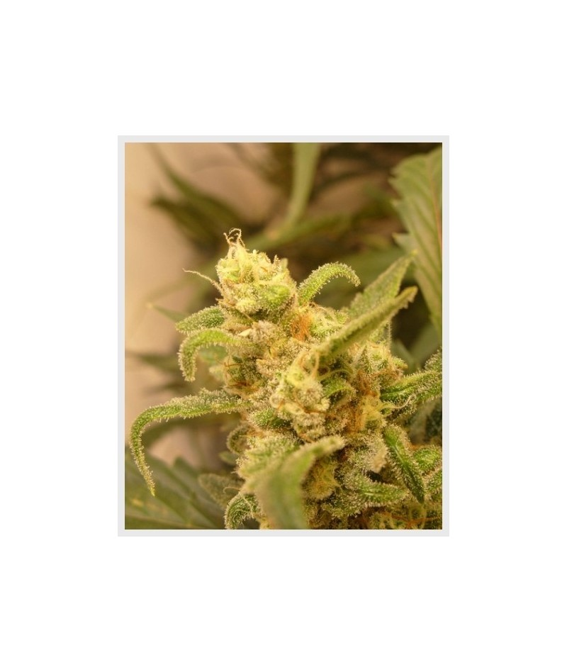 AUTO SEEDS BERRY RYDER