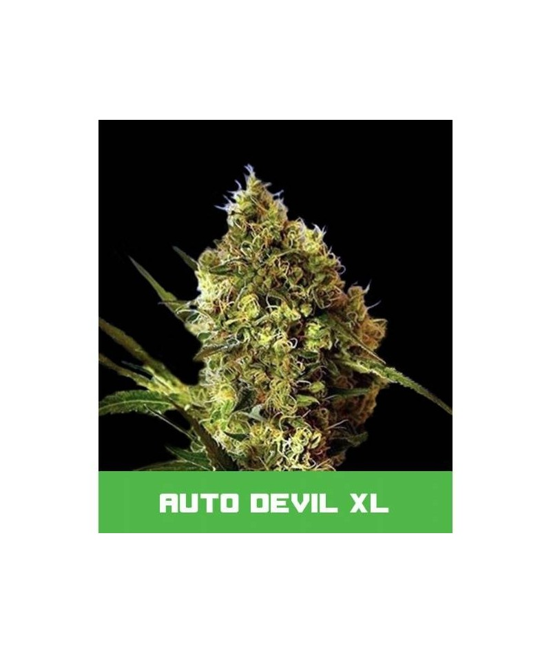 BUD MASTER SEEDS AUTO DEVIL XL