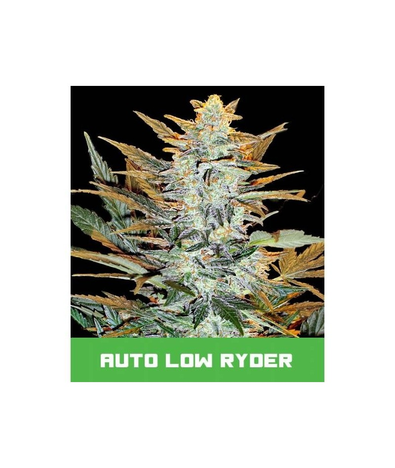 BUD MASTER SEEDS AUTO LOW...