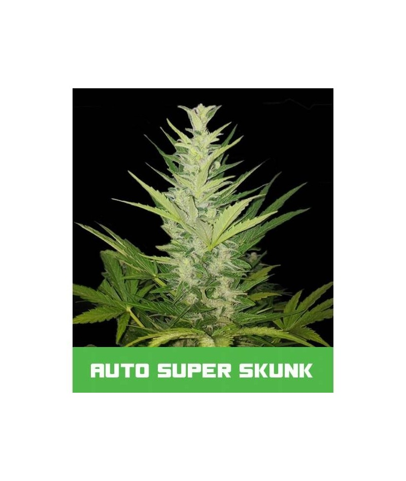 BUD MASTER SEEDS AUTO SUPER...