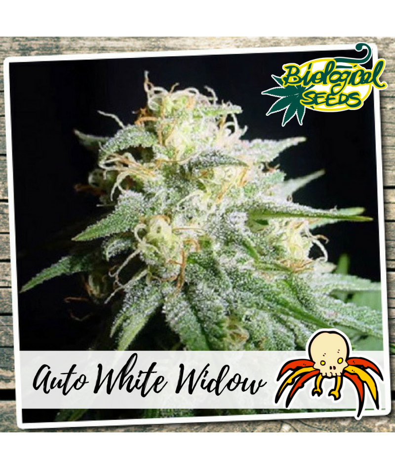 BIOLOGICAL SEEDS AUTO WHITE...