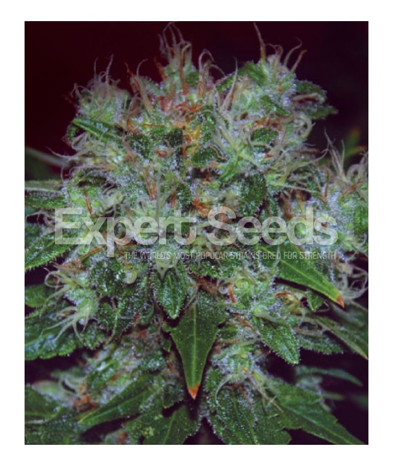 EXPERT SEEDS BLUE CHEESE AUTO