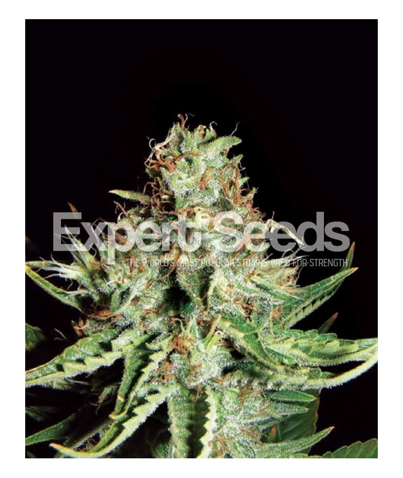EXPERT SEEDS SWEET CREAM AUTO