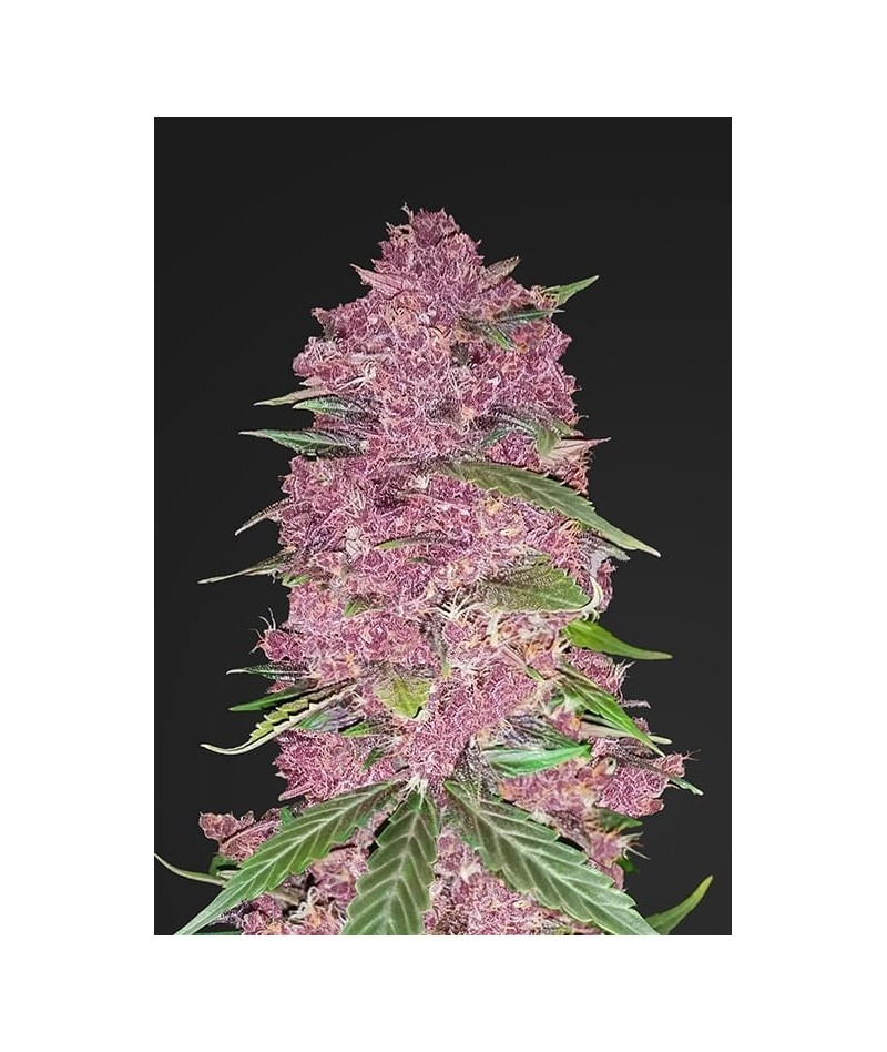 FAST BUDS PURPLE LEMONADE