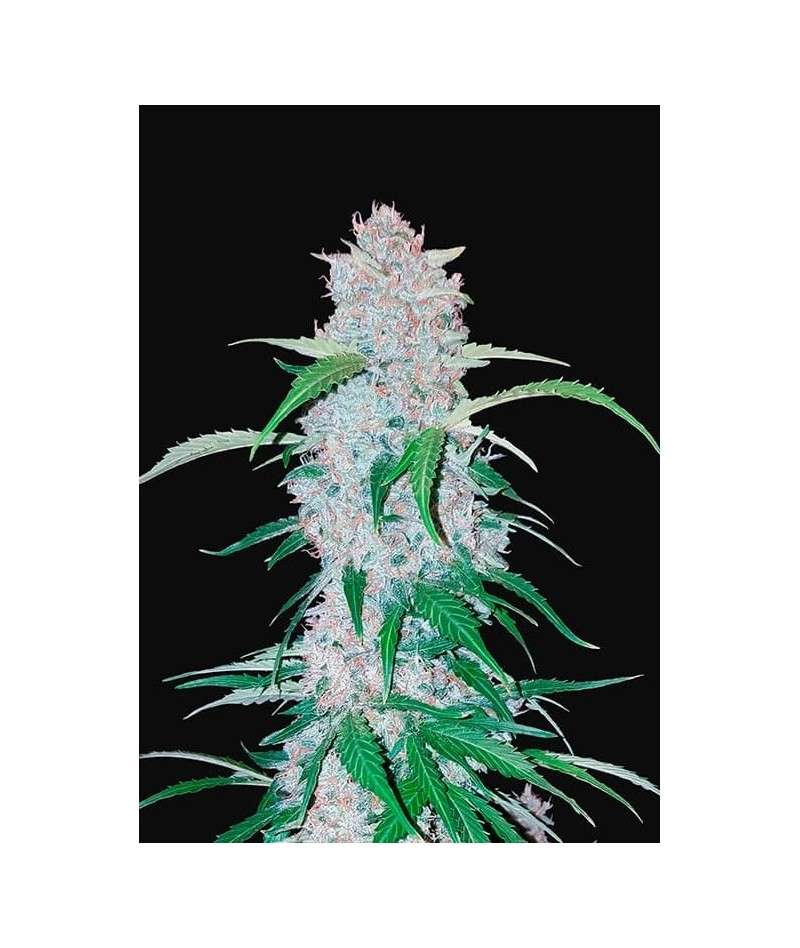 FAST BUDS SIX SHOOTER AUTO