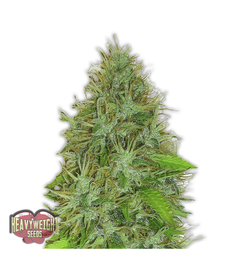 HEAVYWEIGHT SEEDS 2FAST &...