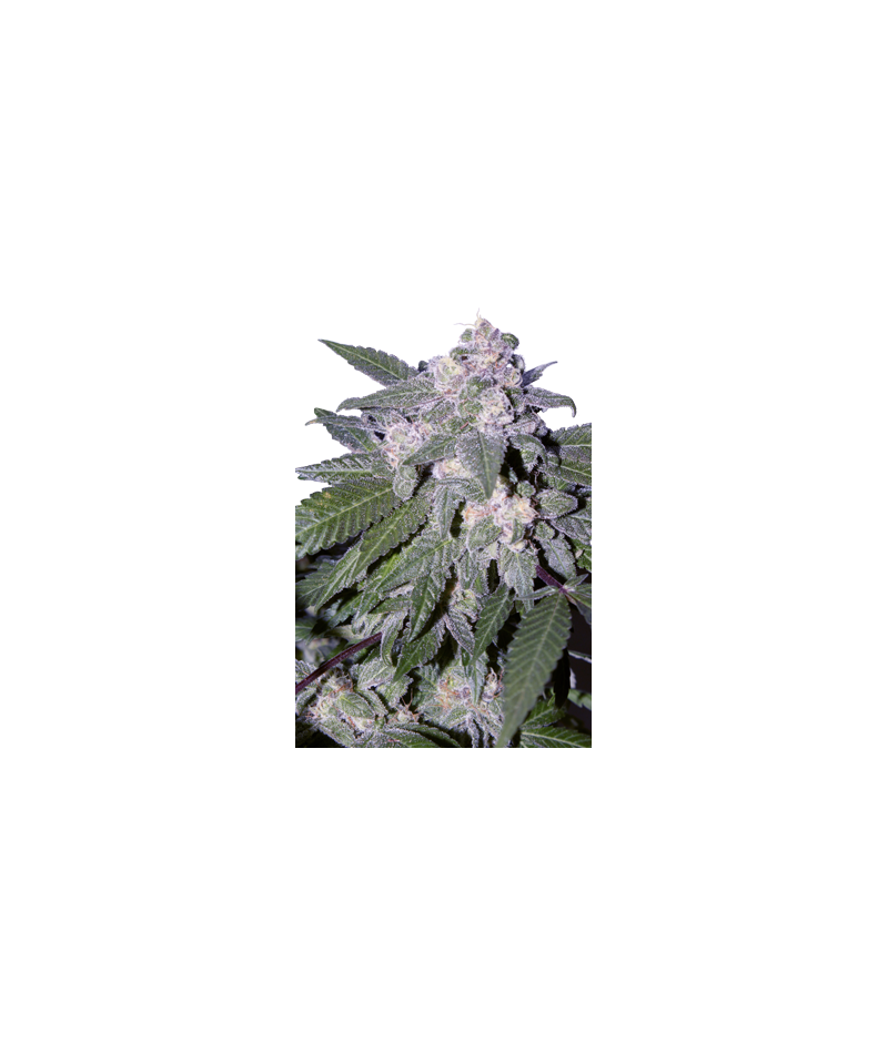 SEED MAKERS AUTO BLUE
