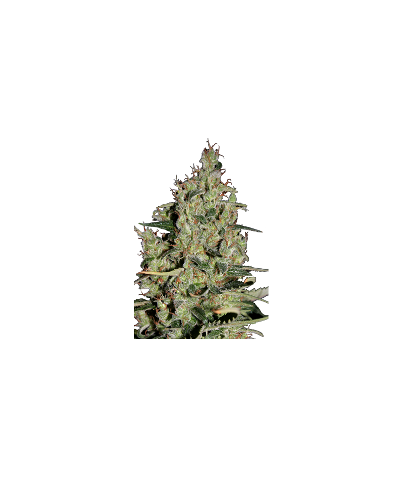 SEED MAKERS AUTO CRITICAL