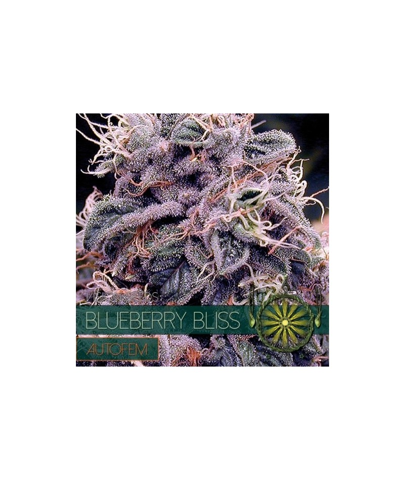 VISION SEEDS BLUEBERRY...