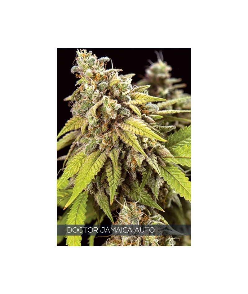 VISION SEEDS DOCTOR JAMAICA...
