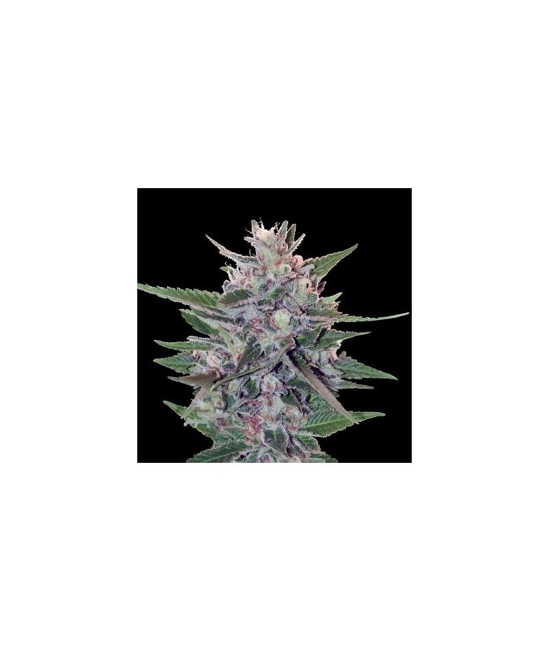 ACE SEEDS HASH PLANT S1