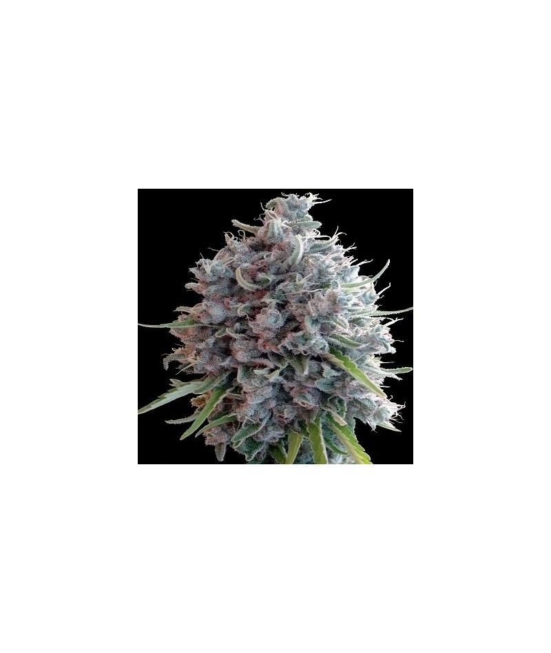 ACE SEEDS KILLER A5 HAZE