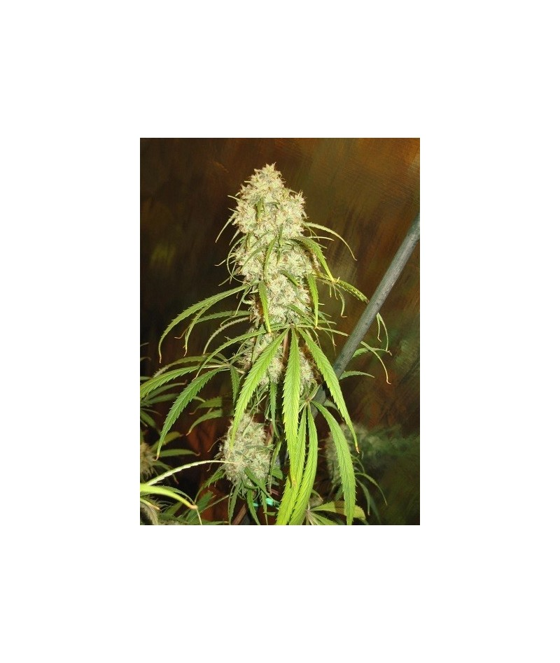 ACE SEEDS MALAWI BREEDERS PACK