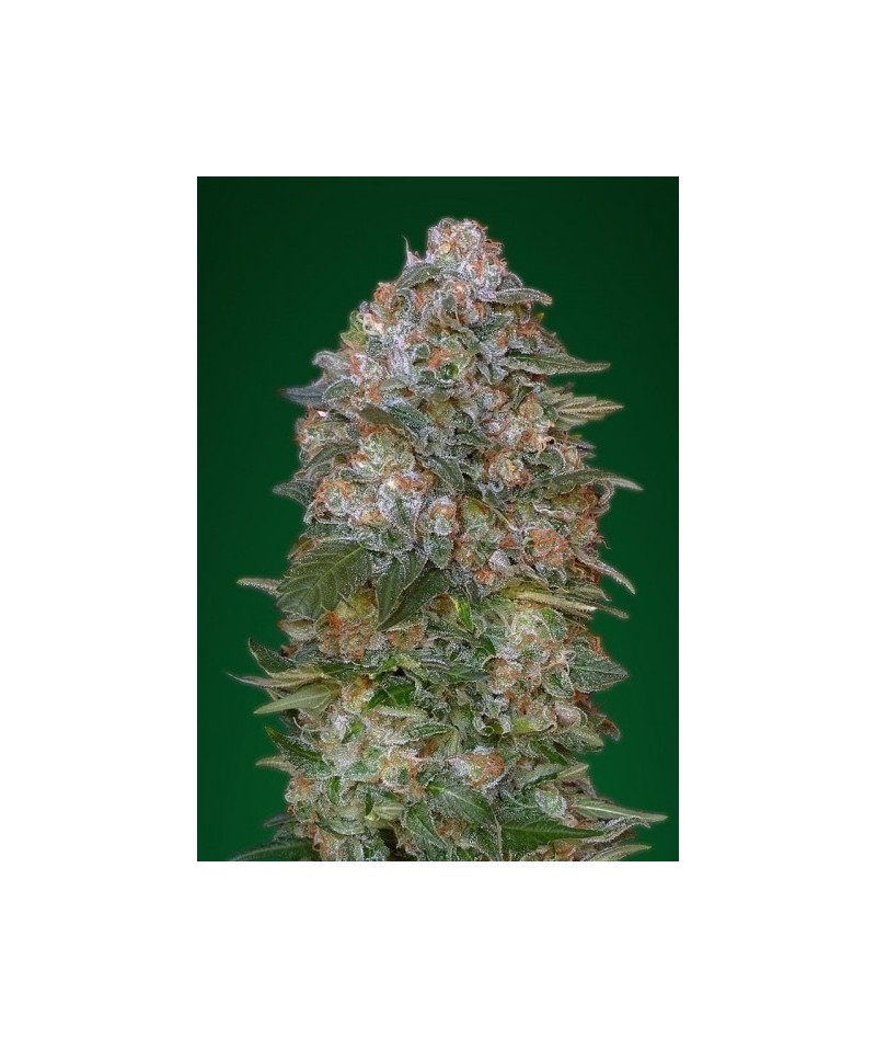 ADVANCED SEEDS CRITICAL SOMA
