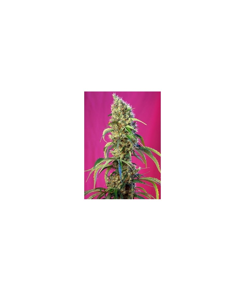 SWEET SEEDS BLACK JACK CBD