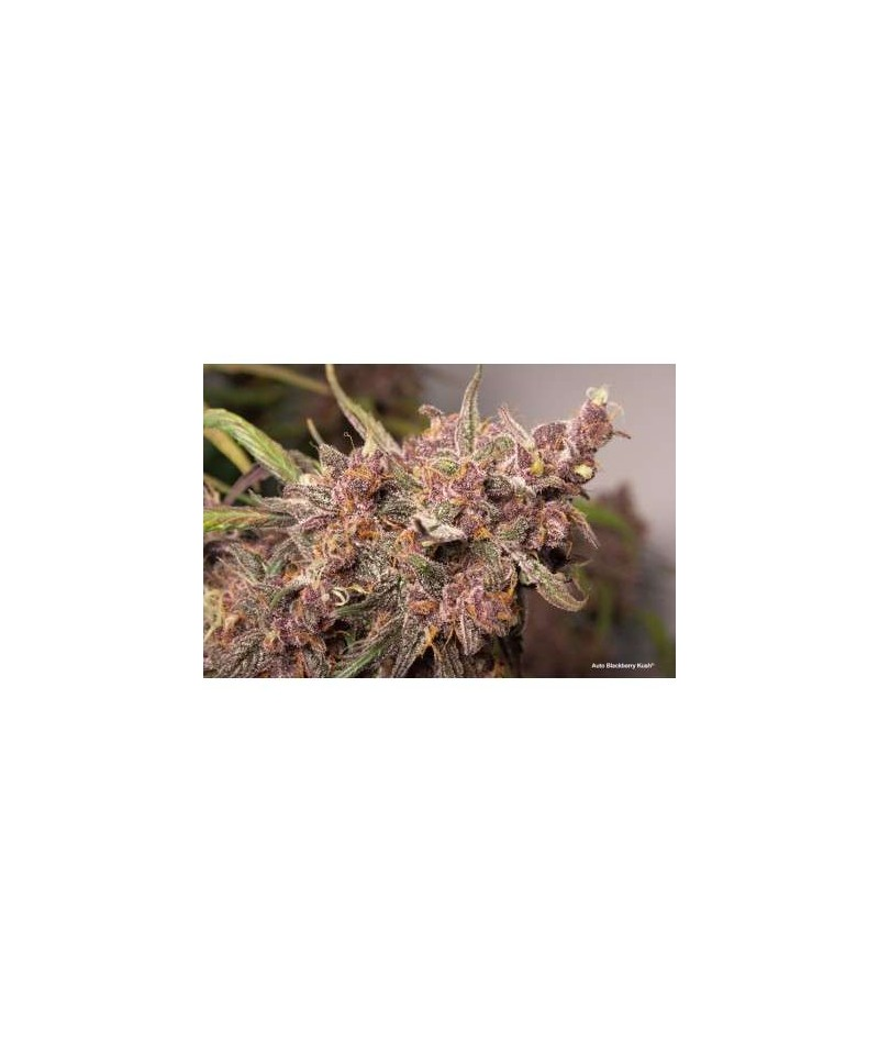 AUTO BLACKBERRY KUSH -...