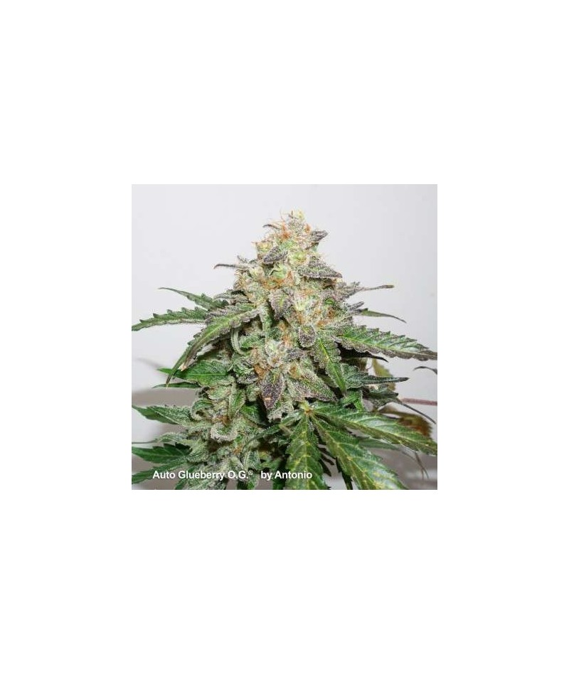 AUTO GLUEBERRY O.G. - DUTCH...