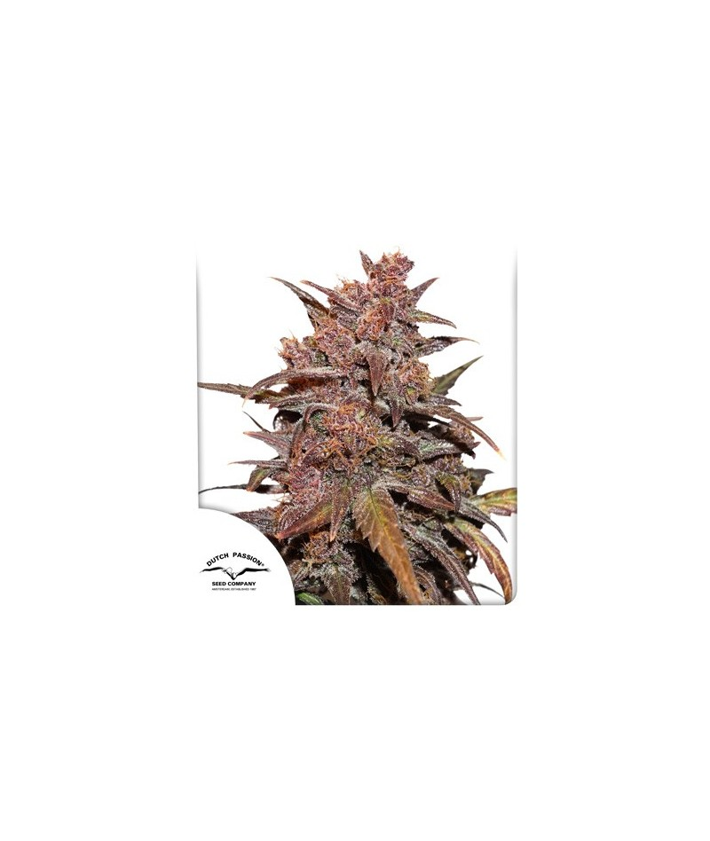 CBD AUTO BLACKBERRY KUSH -...