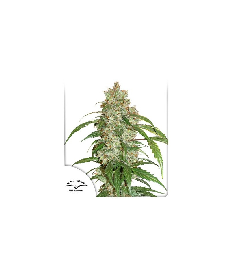 CBD AUTO WHITE WIDOW -...