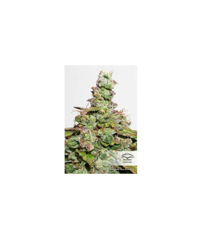 CBD AUTO COMPASSION LIME -...