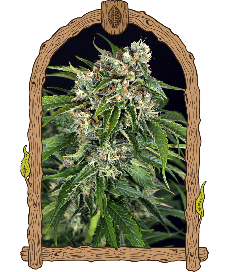 SIR JACK AUTO PURE CBD -...